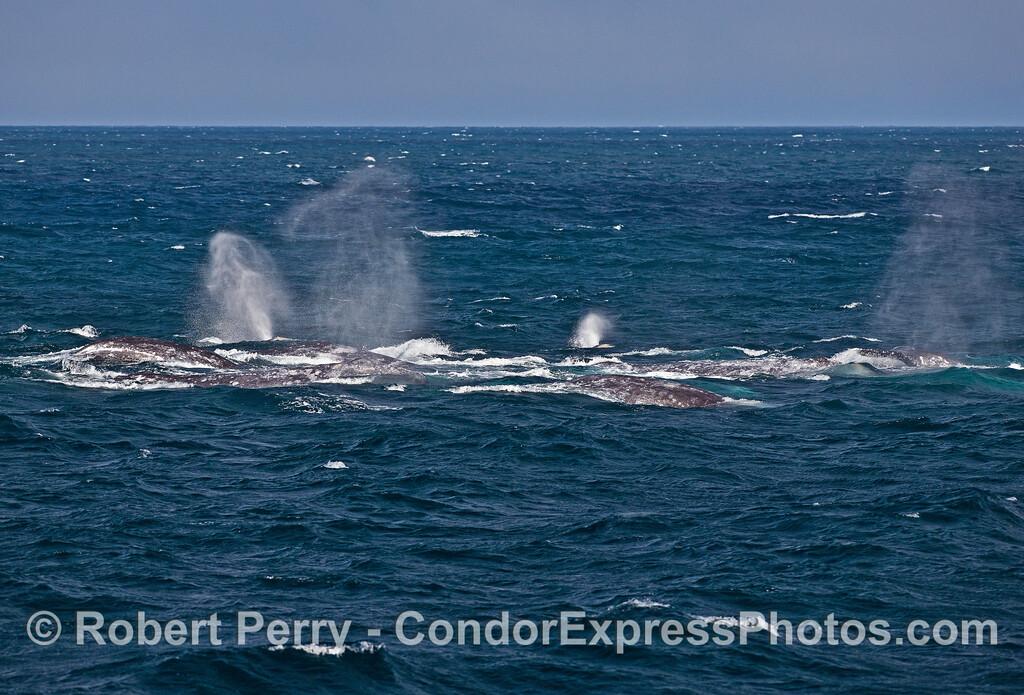 Gray whale megapod.