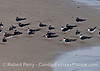 Part of a flock of black skimmers found resting on the sand at West Beach, Santa Barbara Harbor.