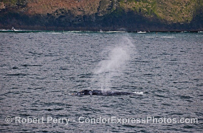 A southbound migrating gray whale spouts close to the sea cliffs of Santa Cruz Island.