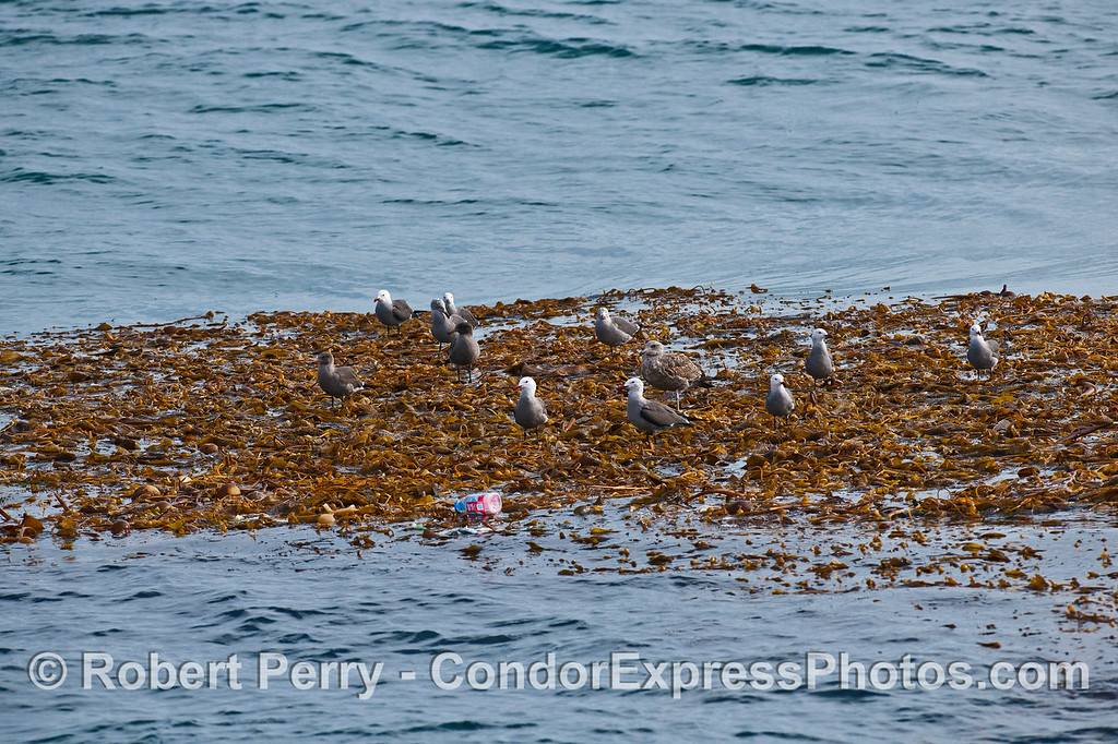 Heermann's gulls and a few juveniles of other species rest on a drifting giant kelp (Macrocystis) paddy in the middle of the Santa Barbara Channel.  Plastic debris is also seen in this photo.