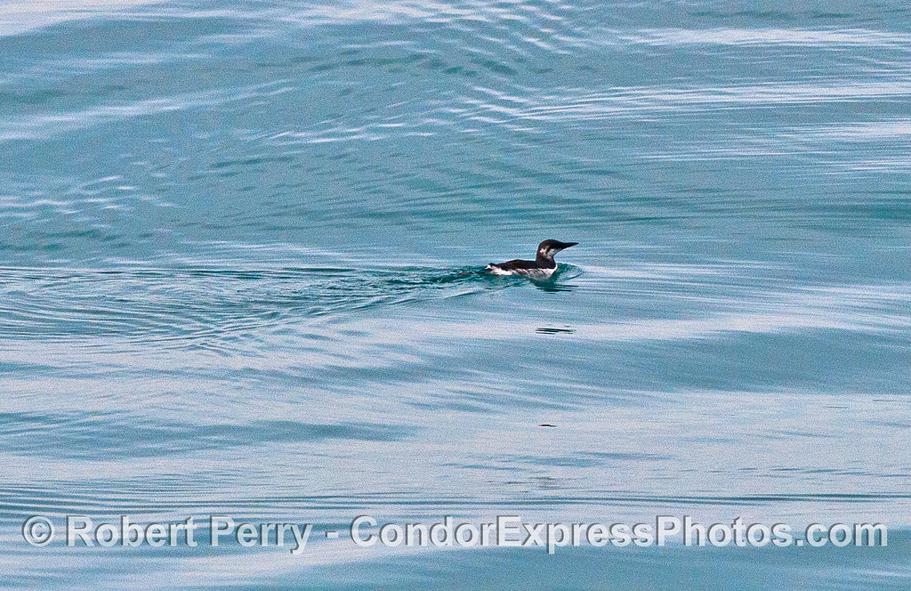 A lone common murre paddles along on the surface before diving to escape the boat.