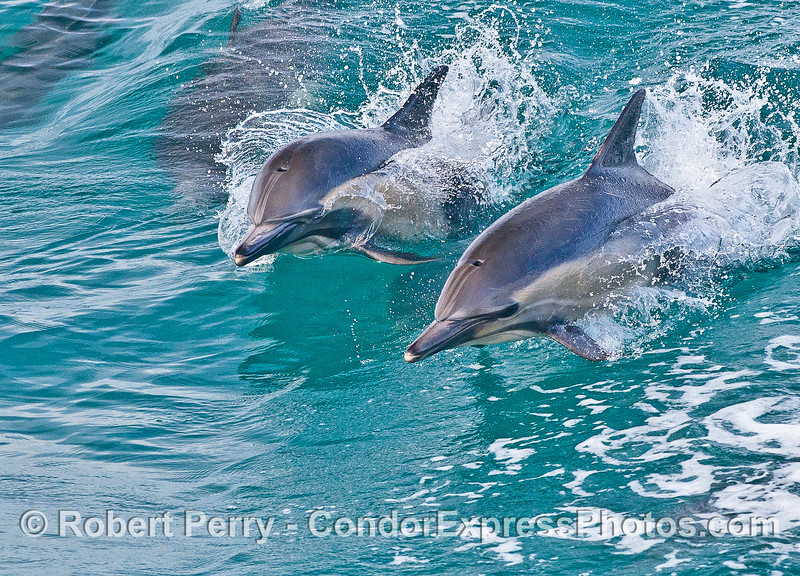 Two long-beaked common dolphins leap side-by-side.