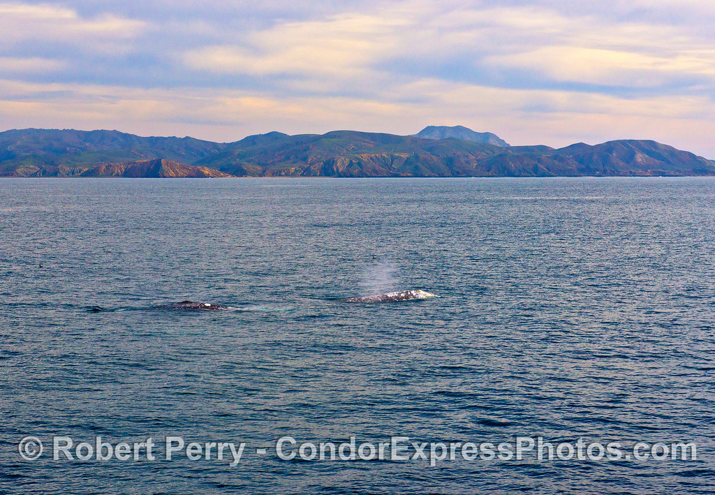 Three gray whales (one still underwater) with far southwest Santa Cruz Island in back.