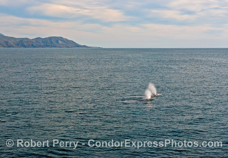 Three gray whales (one is seen glowing blue under water) and far southwest Santa Cruz Island in back.