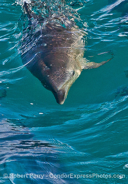 Eyes open, a long-beaked common dolphin swims under the surface.