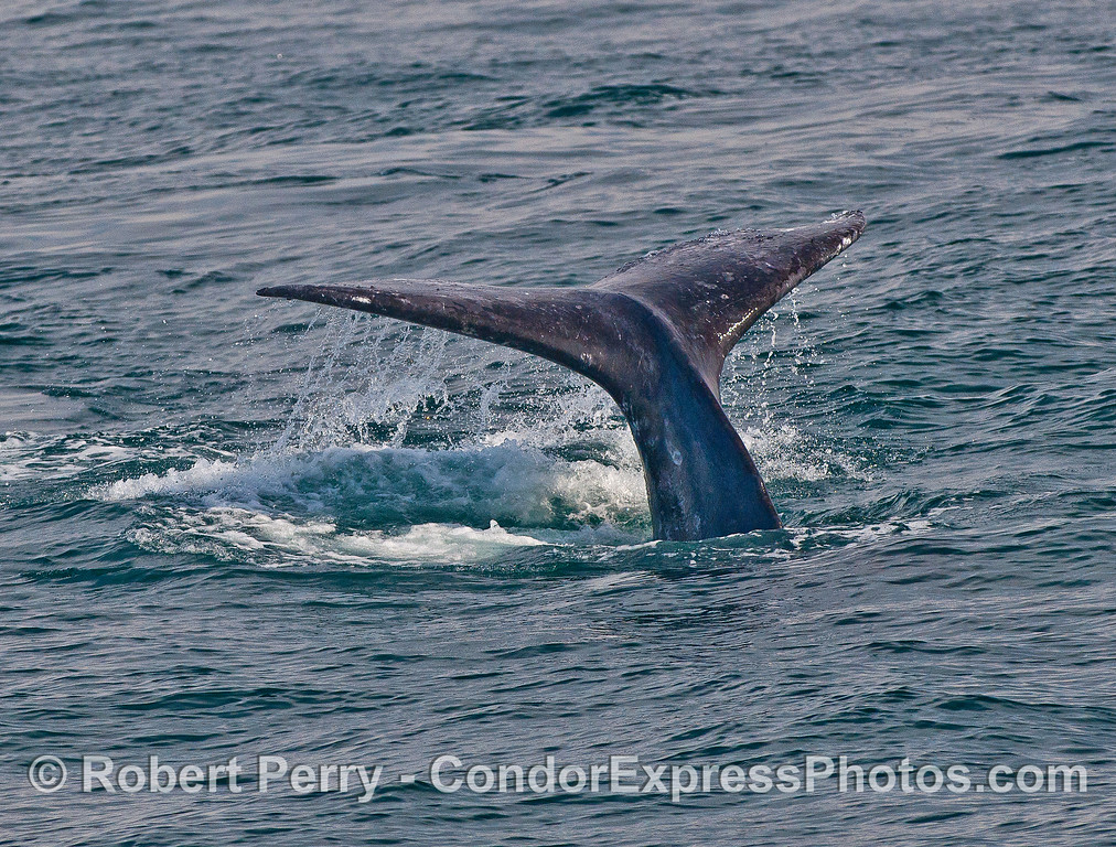 Image 1 of 2:  gray whale tail flukes.