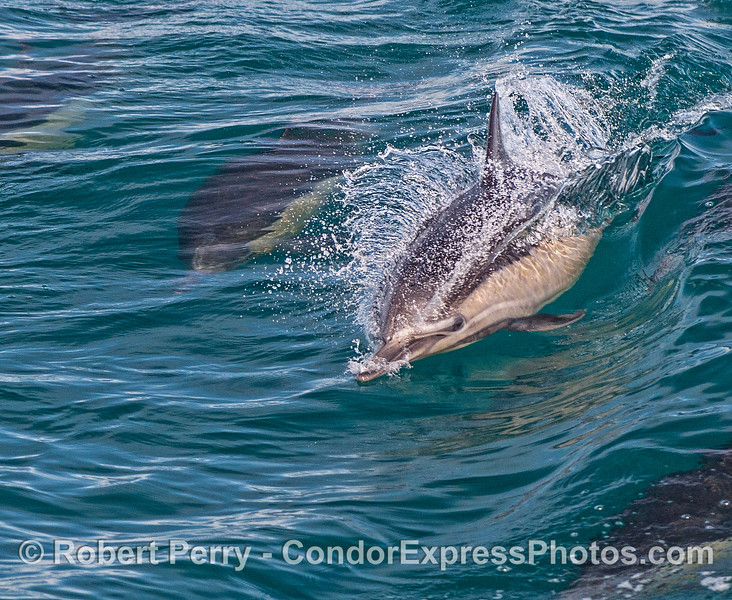 2-Delphinus capensis 2016 01-22 SB Channel-005
