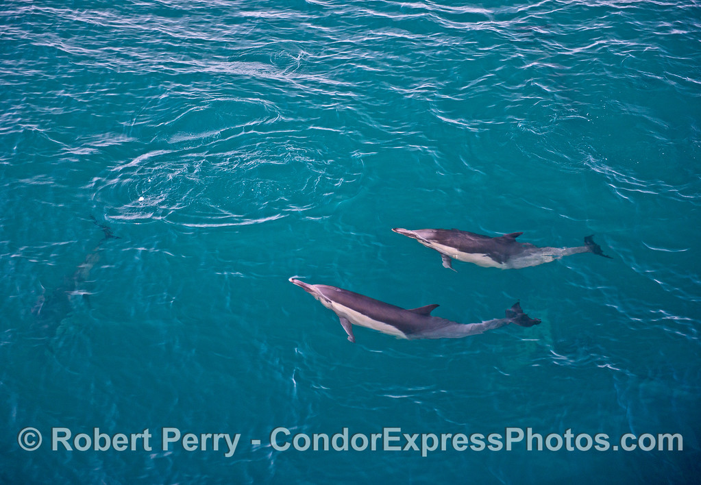 Two long-beaked common dolphins alongside the boat.