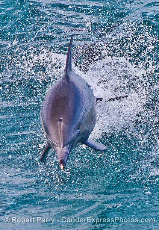 A long-beaked common dolphin leaps directly at the camera.