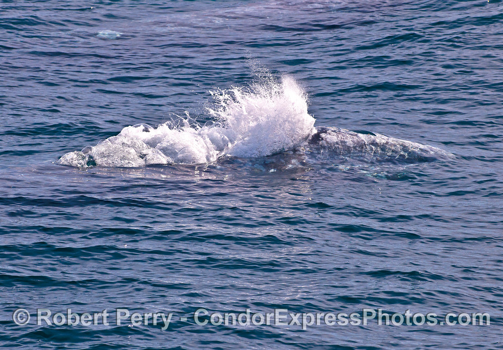 Lots of bubbles from the dual blowholes as a gray whale starts to spout.