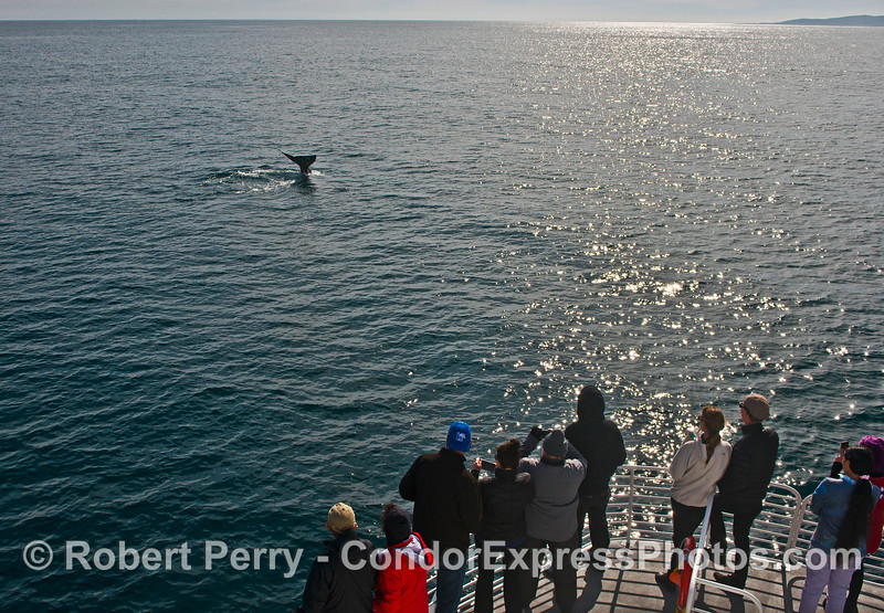 Whale fans get a close look at some gray whale flukes.