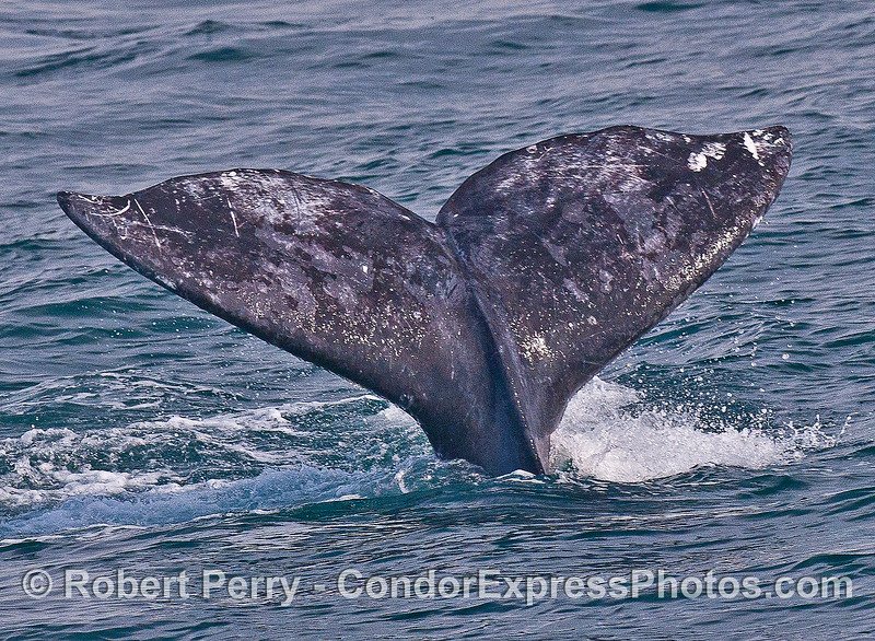 Image 2 of 2:  gray whale tail flukes.