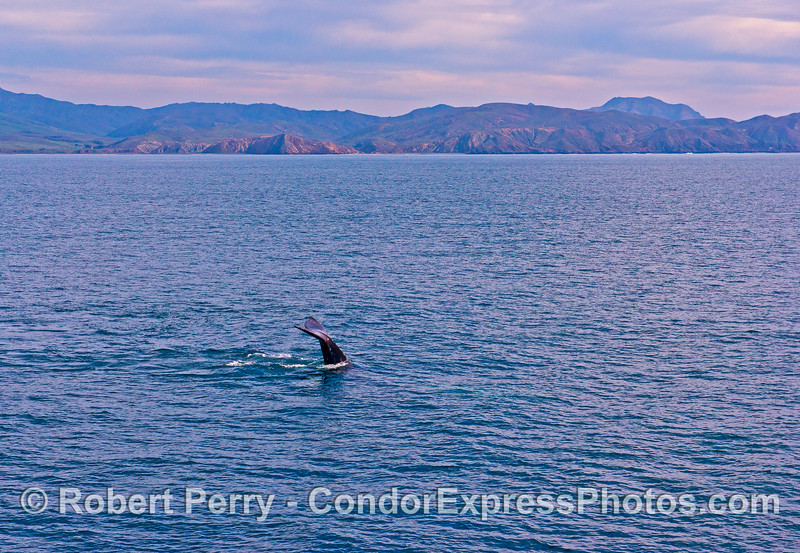 Gray whale tail flukes in the Santa Cruz Channel - far southwest Santa Cruz Island in back.