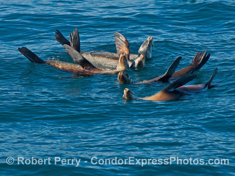 Five rafting California sea lions.