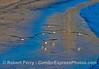 Black skimmers landing on wet sand.