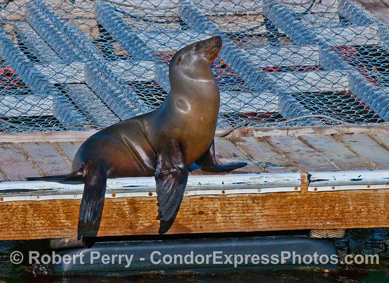 California sea lion on harbor bait barge.