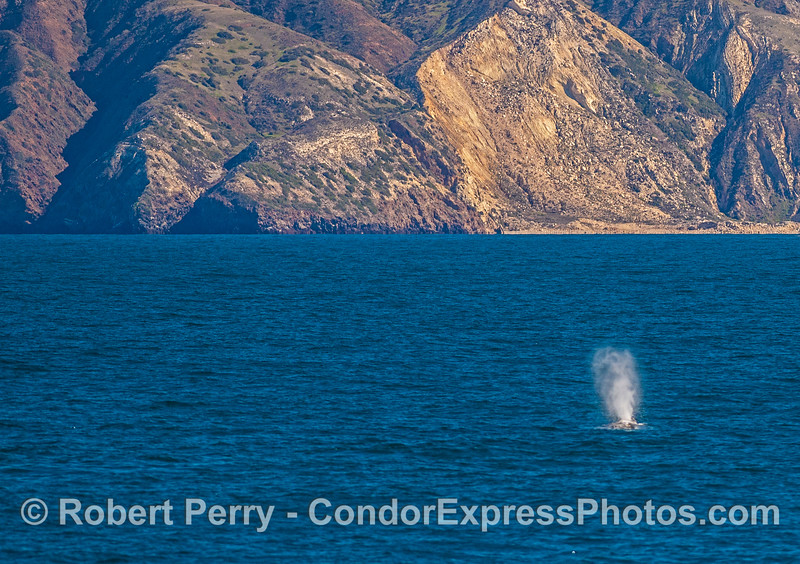 Gray whale - Santa Cruz Island.