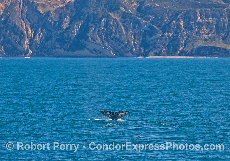 Gray whale tail - Santa Cruz Island.