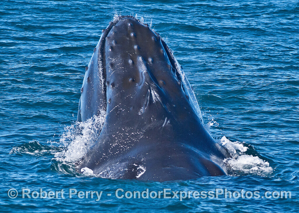 Image 1 of 4:  surface lunge-feeding humpback whale with head lift.