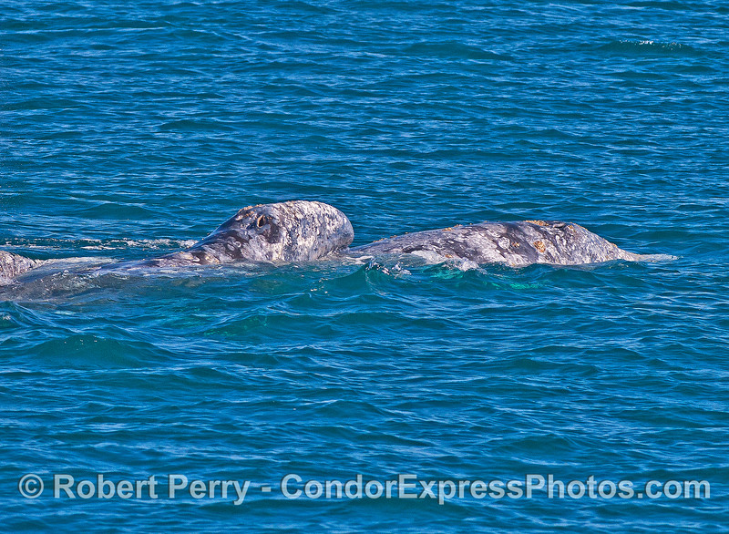 Image 5 of 6: Gray whale socialization, perhaps courtship.  The head of one gray whale is atop the body of another.