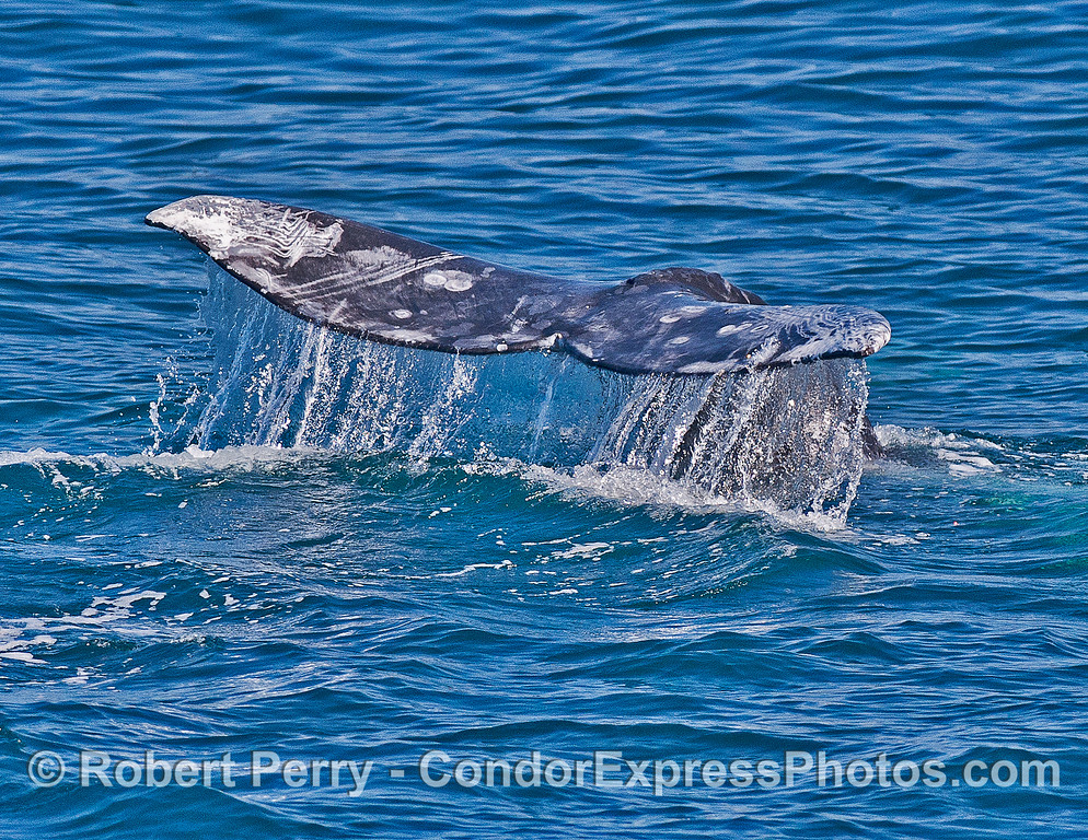 Gray whale tail flukes and waterfall.