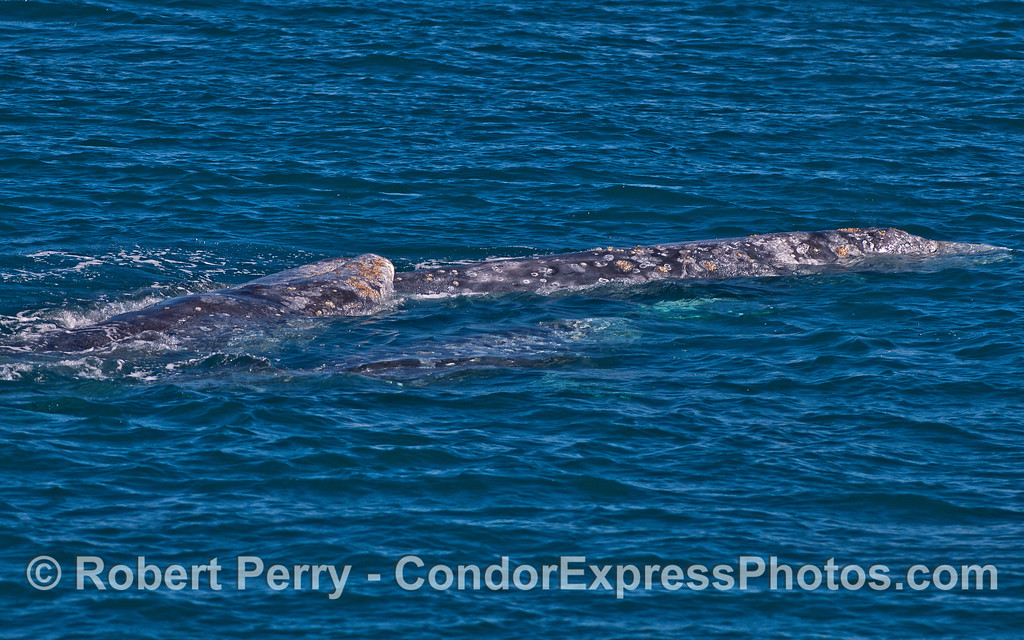Image 4 of 6: Gray whale socialization, perhaps courtship.  The head of one gray whale is atop the body of another.  A third whale is seen joining the fun.