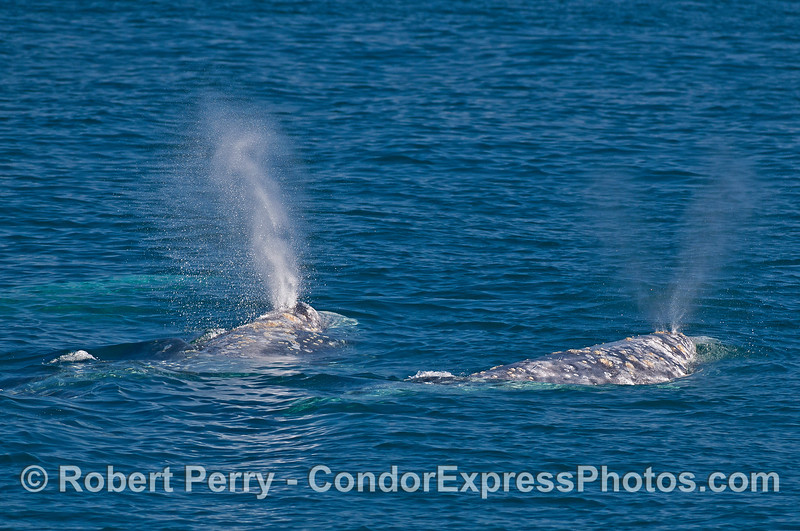 Three gray whales (top left whale is underwater).
