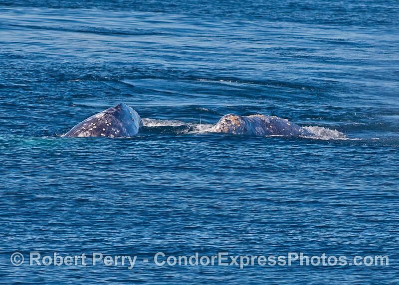 Gray whale pair headed towards camera.