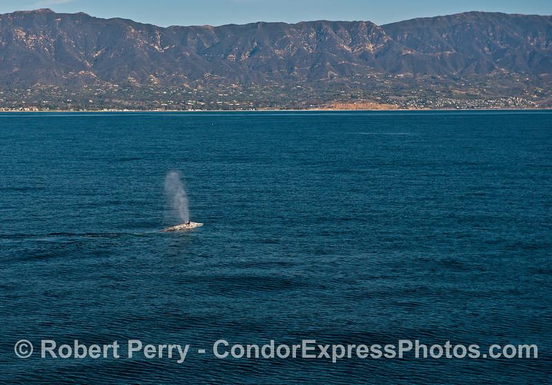 Santa Barbara coastline and a spouting southbound gray whale.
