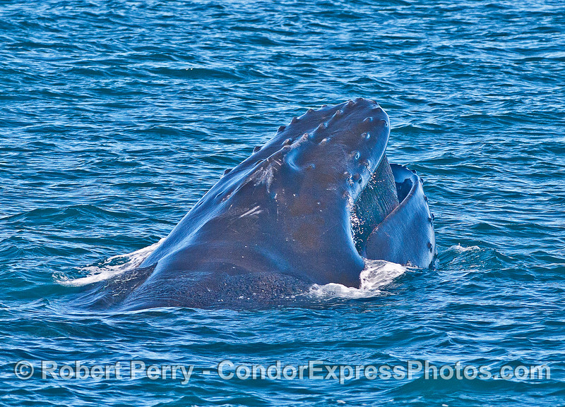 Image 4 of 4:  surface lunge-feeding humpback whale with head lift.