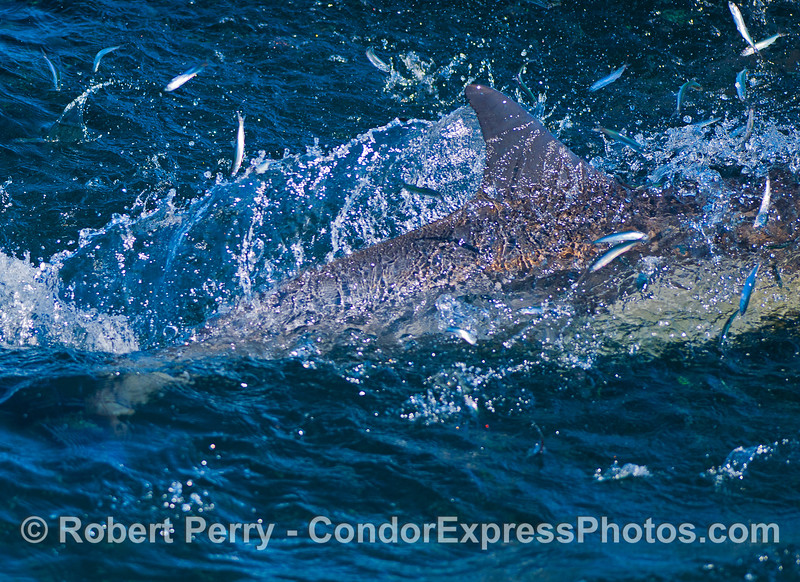 Image 3 of 3:  A common dolphin makes a feeding pass through a large, dense bait ball and sends northern anchvies flying into the air as they try to escape being eaten by the dolphin.