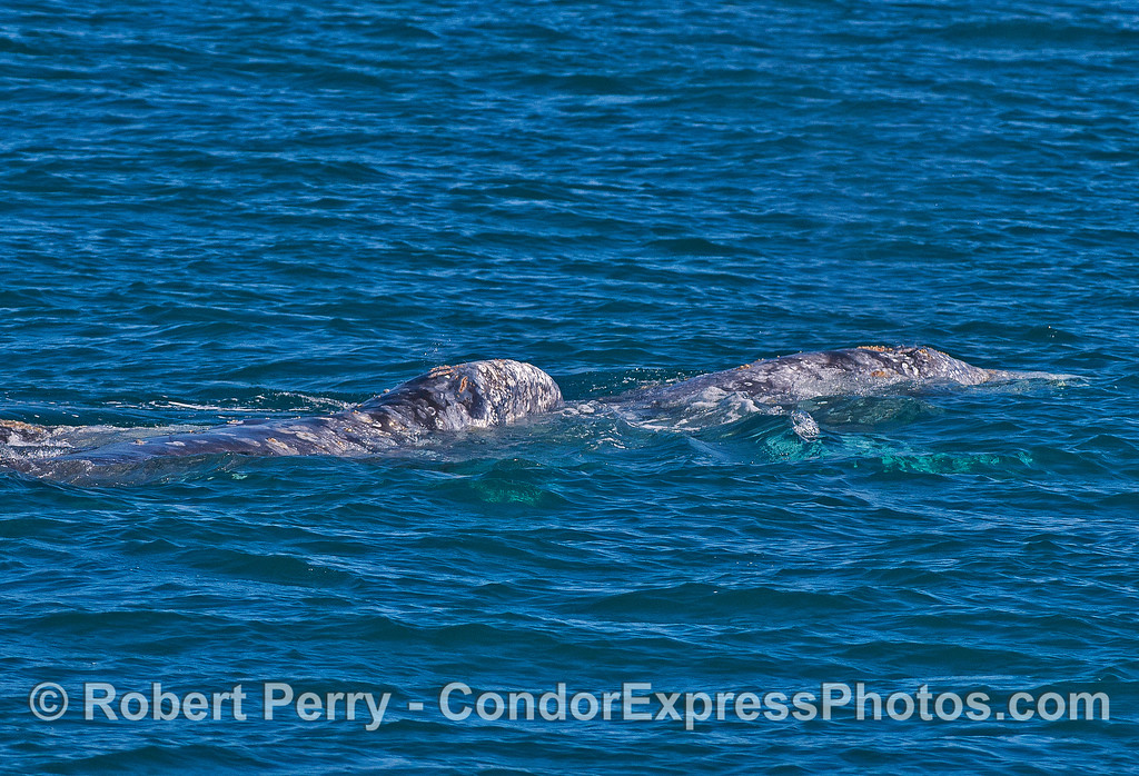 Image 1 of 6: Gray whale socialization, perhaps courtship.  The head of one gray whale is atop the body of another.