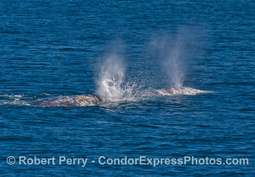 Gray whale pair and unusual spout spray pattern.