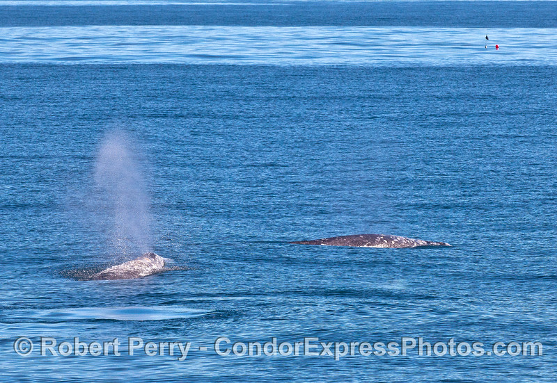 Two gray whales with a gill net flag and poly ball marker on the oceanic front in back.