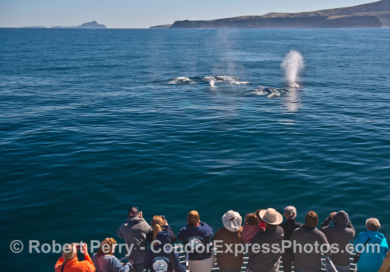 Whale fans, a super pod of gray whales, and the Channel Islands.