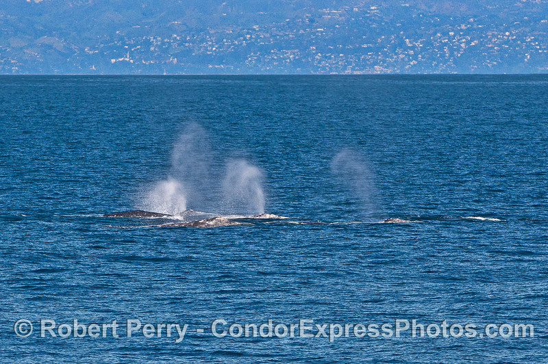 Five whales.