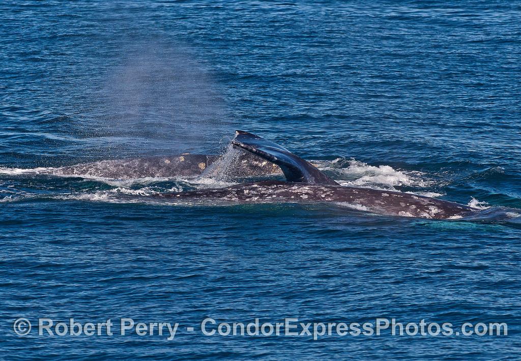 Three gray whales.