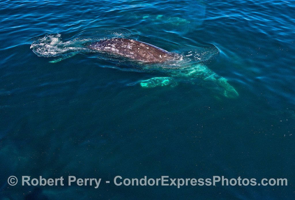 Image 5 of 7:  Friendly gray whales underwater and close.