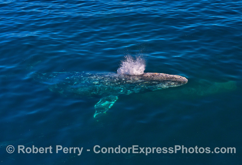 Image 3 of 7:  Friendly gray whales underwater and close.