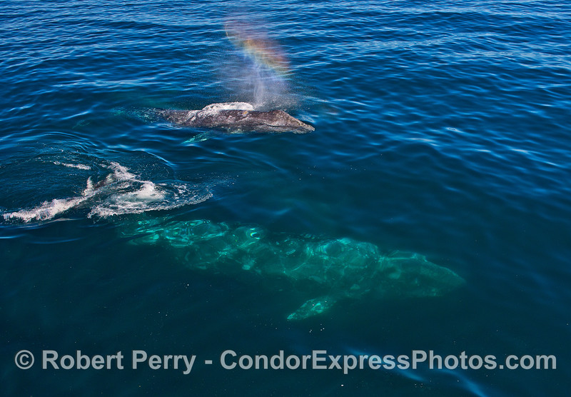 Image 6 of 7:  Friendly gray whales underwater and close.