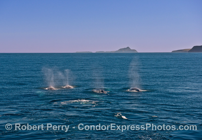 Seven whales and Anacapa Island.