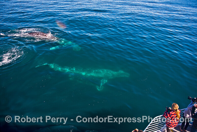 Image 7 of 7:  Friendly gray whales underwater and close.