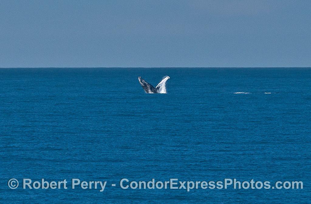 Image 2 of 2:  a humpback whale breaches in the distance.
