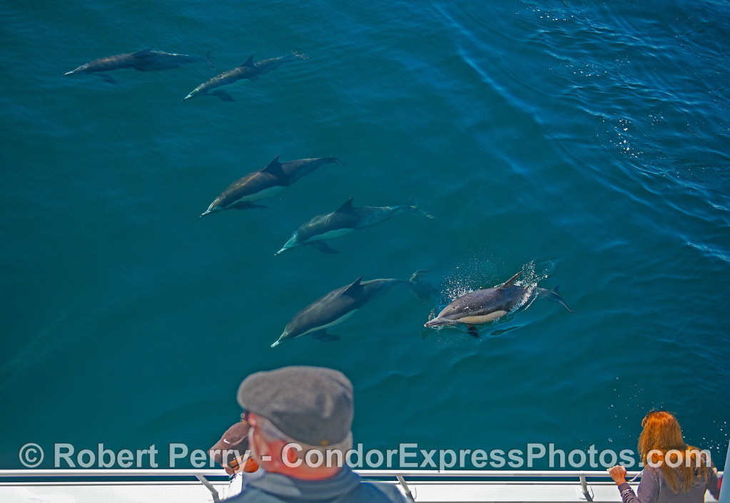 Long-beaked common dolphins doing some recreational passenger watching.