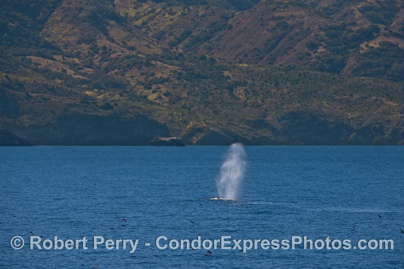 Humpback whale at Santa Cruz Island.