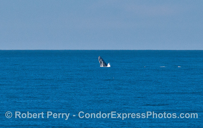 Image 1 of 2:  a humpback whale breaches in the distance.