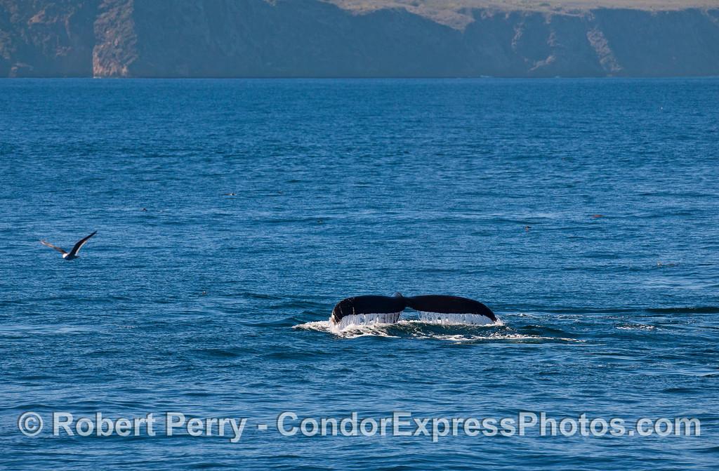 Tail flukes near Santa Cruz Island.  (Humpback whale)