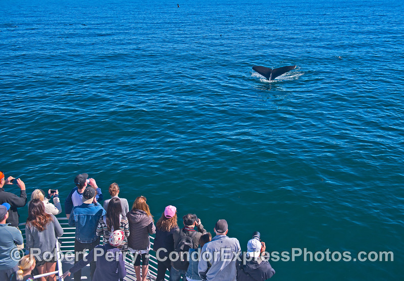 Whale fans get a close encounter with a friendly humpback whale that nicely shows its tail flukes.
