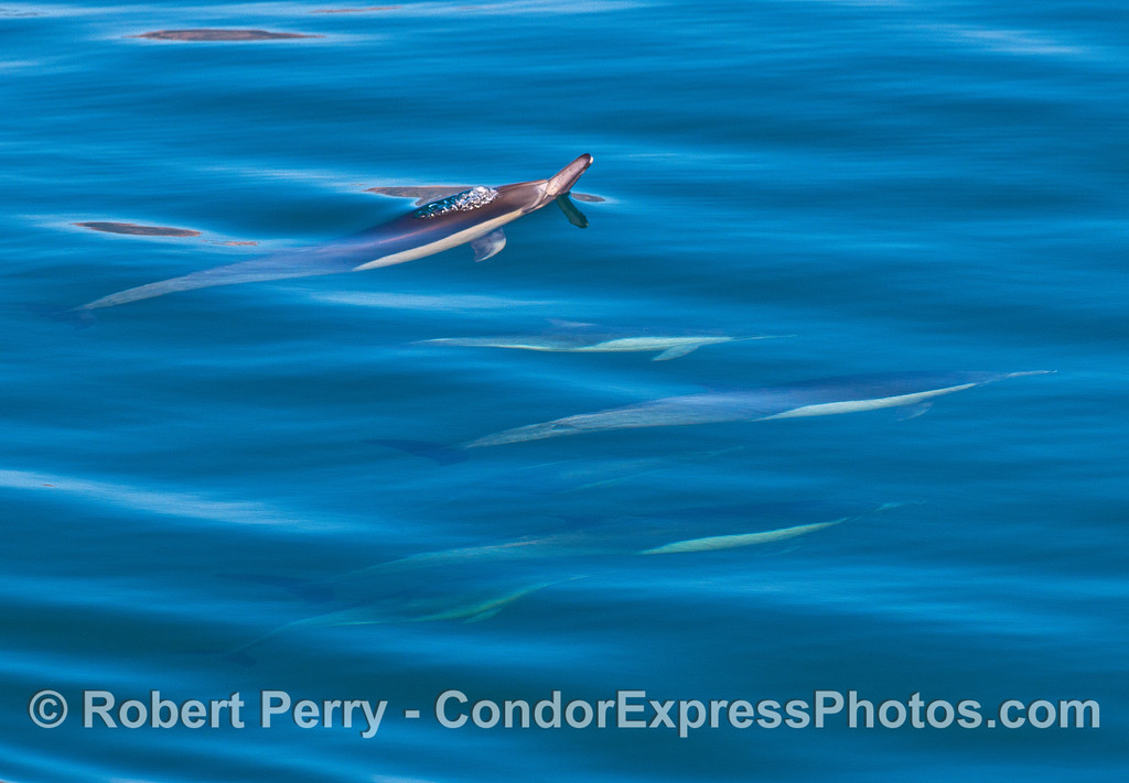 A pod of long-beaked common dolphins.