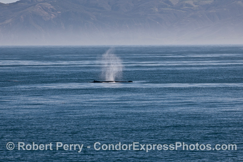 Santa Cruz Island forms a back drop for a large spouting humpback whale.